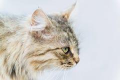 Retrato del gato con los ojos verdes Fotografía de archivo libre de regalías