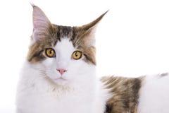 Retrato del gato, Coon de Maine Fotografía de archivo libre de regalías