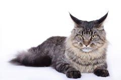 Retrato del gato, coon principal Fotos de archivo libres de regalías