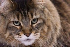 Retrato del gato, coon principal Fotografía de archivo libre de regalías