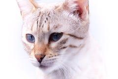 Retrato del gato de Bengala Foto de archivo libre de regalías