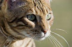 Retrato del gato de Bengala Imagen de archivo