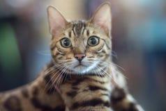 Retrato del gato de Bengala fotos de archivo libres de regalías