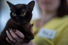 Retrato del gato de Bombay imágenes de archivo libres de regalías