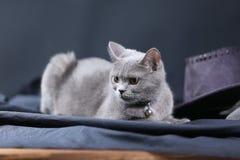 Retrato del gato de británicos Shorthair, Fotografía de archivo