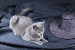 Retrato del gato de británicos Shorthair, Imágenes de archivo libres de regalías