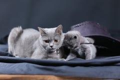 Retrato del gato de británicos Shorthair, Imagen de archivo
