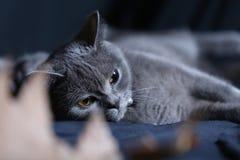 Retrato del gato de británicos Shorthair, Fotos de archivo libres de regalías
