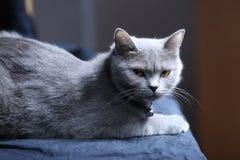 Retrato del gato de británicos Shorthair, Imagen de archivo libre de regalías