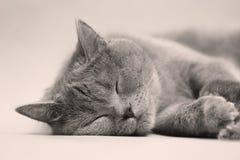 Retrato del gato de británicos Shorthair, Foto de archivo libre de regalías