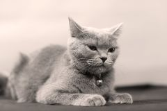 Retrato del gato de británicos Shorthair, aislado Foto de archivo libre de regalías