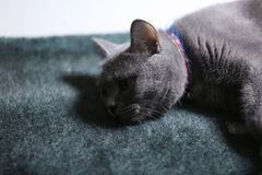 Retrato del gato de británicos Shorthair, aislado Fotografía de archivo