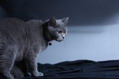 Retrato del gato de británicos Shorthair aislado Imagen de archivo libre de regalías