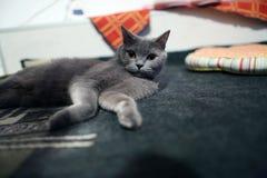 Retrato del gato de británicos Shorthair aislado Fotografía de archivo