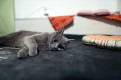 Retrato del gato de británicos Shorthair aislado Fotos de archivo libres de regalías