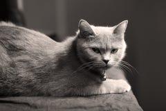 Retrato del gato de británicos Shorthair aislado Fotografía de archivo libre de regalías