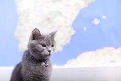 Retrato del gato de británicos Shorthair, aislado Imagen de archivo libre de regalías