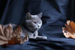 Retrato del gato de británicos Shorthair entre las hojas de otoño Foto de archivo