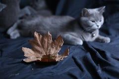 Retrato del gato de británicos Shorthair entre las hojas de otoño Imagen de archivo libre de regalías