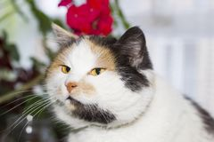 Retrato del gato de calicó hermoso Fotografía de archivo