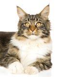 Retrato del gato de Coon de Maine Fotos de archivo
