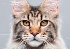 Retrato del gato de Coon de Maine Fotografía de archivo