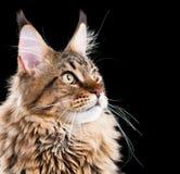 Retrato del gato de Coon de Maine Fotografía de archivo libre de regalías