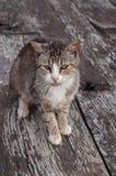 Retrato del gato de gato atigrado Fotos de archivo libres de regalías