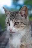 Retrato del gato de gato atigrado Imagenes de archivo