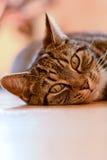 Retrato del gato de gato atigrado Foto de archivo