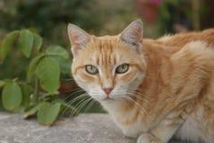 Retrato del gato de gato atigrado con los ojos verdes Gato grande que se sienta en la pared del jardín Foto de archivo