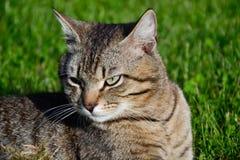Retrato del gato de gato atigrado de pelo corto nacional que miente en la hierba Tomcat que se relaja en jardín fotografía de archivo libre de regalías