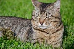 Retrato del gato de gato atigrado de pelo corto nacional que miente en la hierba Tomcat que se relaja en jardín fotos de archivo libres de regalías