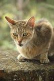 Retrato del gato de los ojos verdes Fotografía de archivo