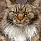 Retrato del gato de Maine Coon Imagen de archivo
