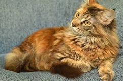 Retrato del gato de mapache joven hermoso de Maine Fotografía de archivo