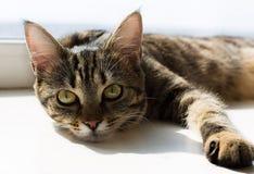 Retrato del gato de mentira con los ojos amarillos Imágenes de archivo libres de regalías