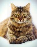 Retrato del gato de ojos marrones aislado en el fondo blanco Fotografía de archivo