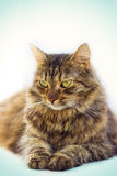 Retrato del gato de ojos marrones aislado en el fondo blanco Fotos de archivo