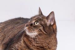 Retrato del gato del adulto del gato atigrado. Fondo blanco. Imágenes de archivo libres de regalías