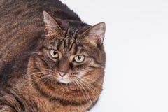 Retrato del gato del adulto del gato atigrado. Fondo blanco. Imagen de archivo libre de regalías
