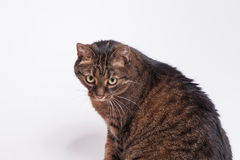 Retrato del gato del adulto del gato atigrado. Fondo blanco. Imagenes de archivo