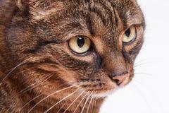 Retrato del gato del adulto del gato atigrado. Fondo blanco. Foto de archivo libre de regalías