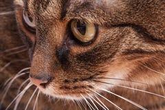 Retrato del gato del adulto del gato atigrado. Fondo blanco. Imagen de archivo