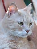 Retrato del gato del melocotón Foto de archivo