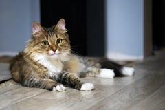 Retrato del gato divertido de los ojos verdes imagen de archivo