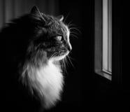 Retrato del gato en blanco y negro Imagen de archivo