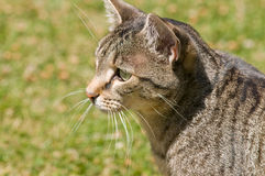 Retrato del gato en un césped verde. Imagenes de archivo