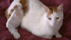 Retrato del gato enfermo con la pierna herida en Gauze Dressing metrajes
