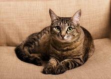 Retrato del gato enrrollado de ojos verdes Imagen de archivo libre de regalías